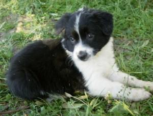 Border Collie addestramento cucciolo