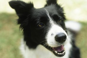 border collie comando seduto