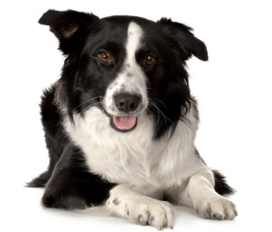 Breed-Border-Collie