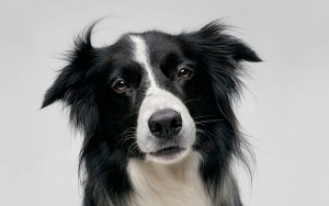 Border-Collie-urina-pipi