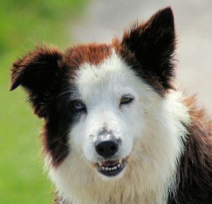 Come lavare border collie