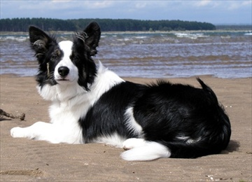 border collie aggredisce