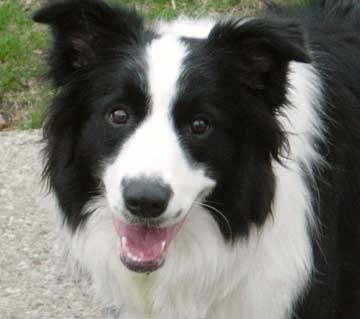 border-collie ringhia